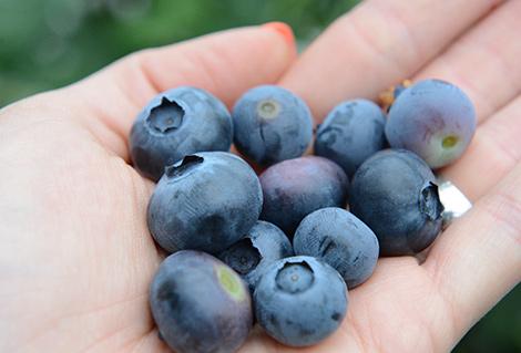 Die Heidelbeere ist nicht nur lecker sondern auch sehr gesund!