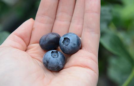 Heidelbeeren Erntezeit von Juni bis September in Telgte