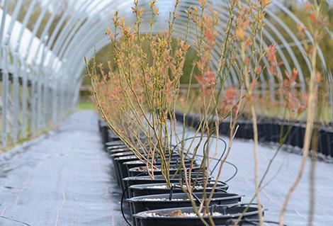 Heidelbeerpflanzen für den eigenen Garten